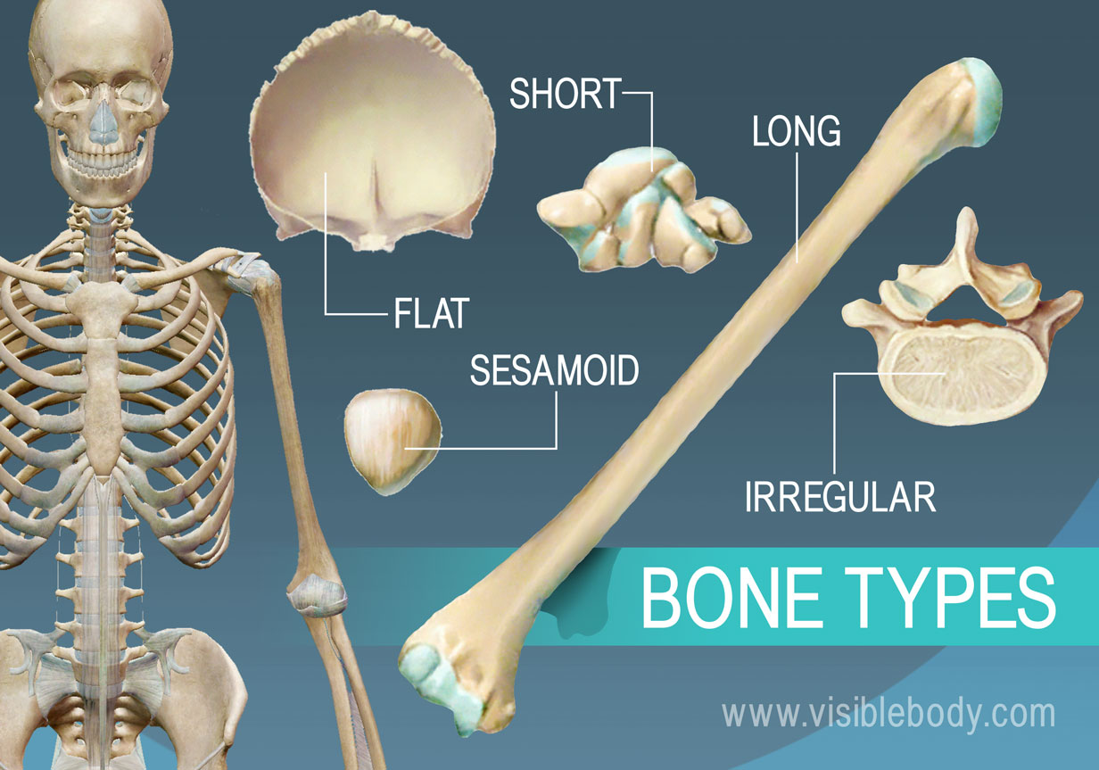 Bones come in 5 different shapes and functions
