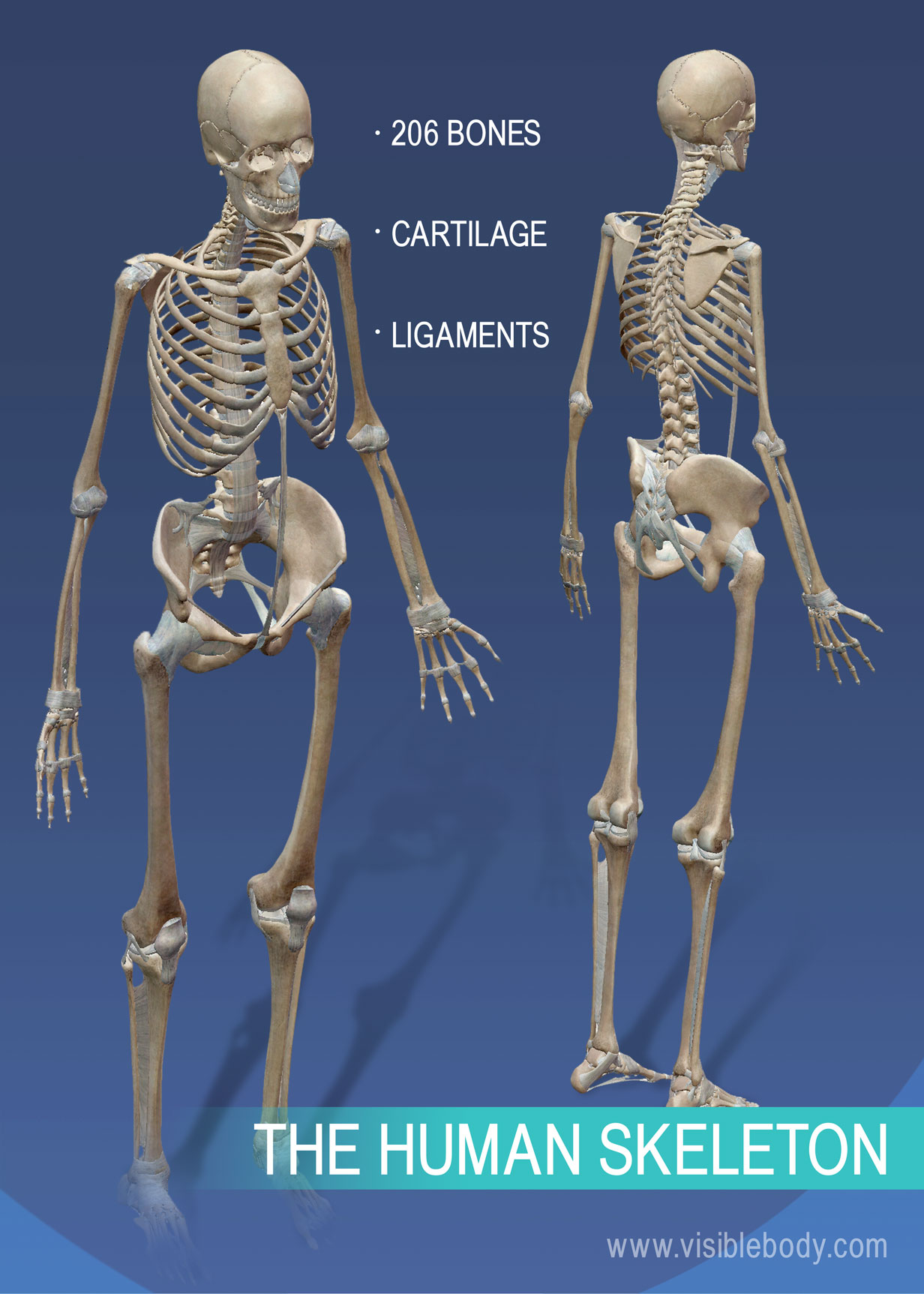 overview of the skeleton The skeletal system is made up of 206 bones those 206 bones are divided into two main parts, the axial skeleton and the appendicular skeleton the axial skeleton is the central potation of.