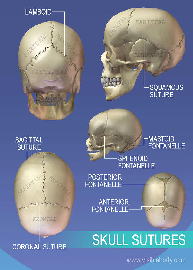 sagittal suture anatomy - 638×903