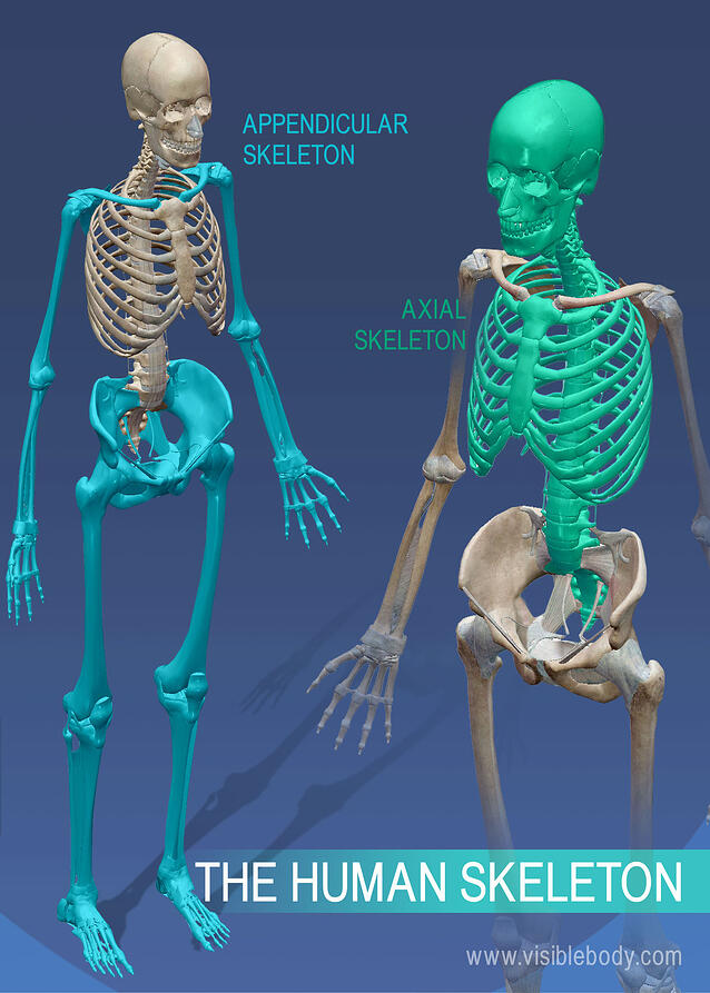 Axial and even visceral skeleton