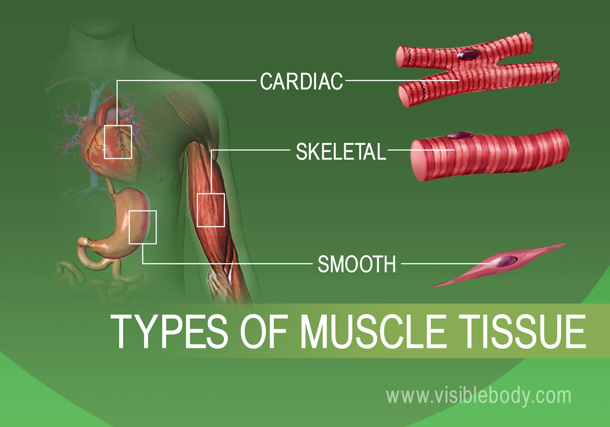"""muscle tissue types Human body has 4 different types of tissues a """"tissue"""" in simple terms is a bunch of cells they are formed by a combination of similar cells so as to have same physiological function in body specific type of tissue has the same function in almost all of the higher animals."""