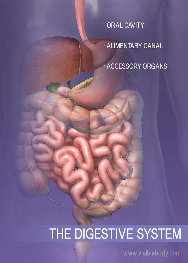 digestive system article