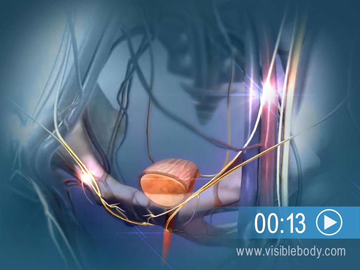 Zur Animation der Nervenantwort auf eine volle Harnblase hier klicken