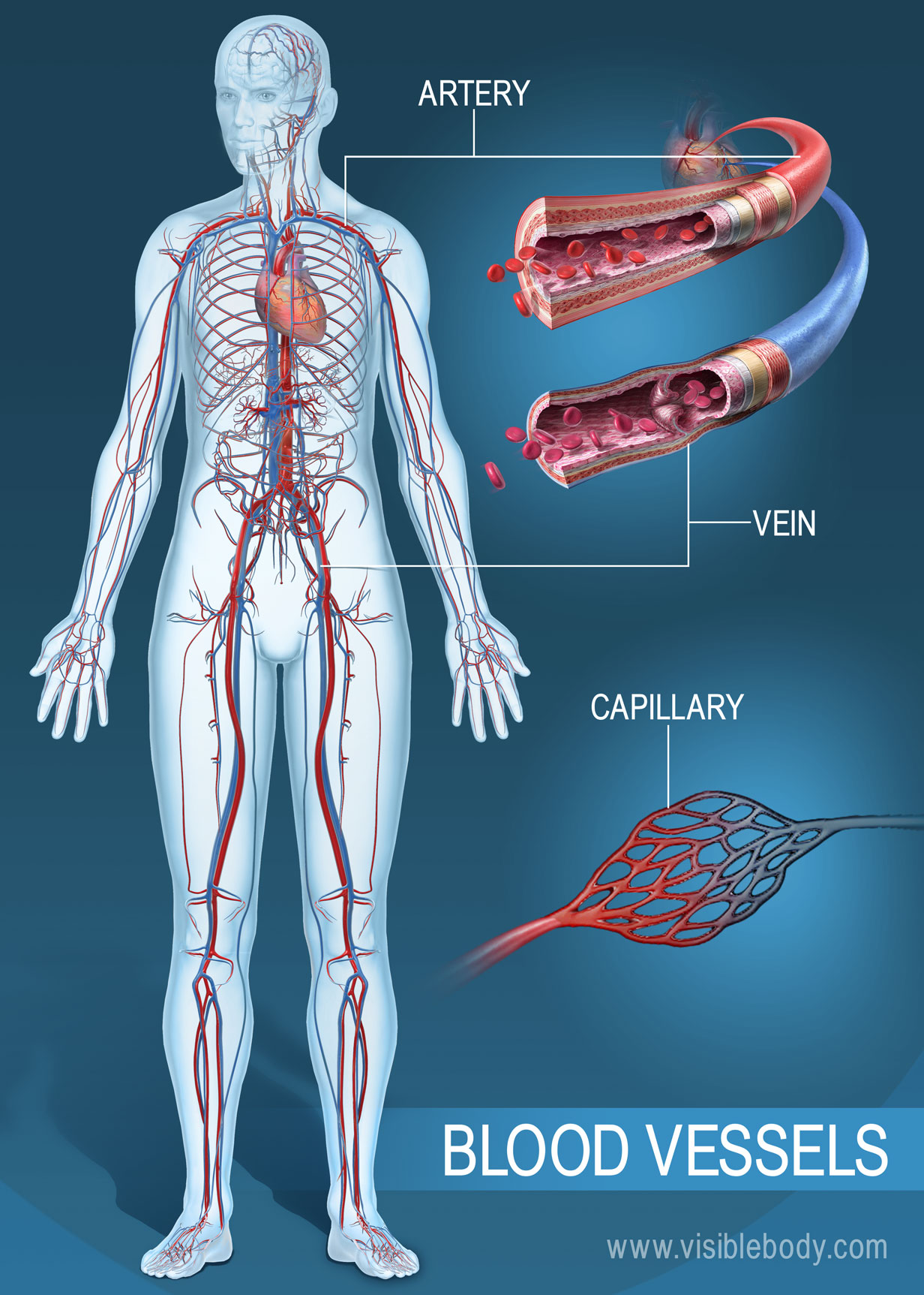 Circulatory Blood Vessels